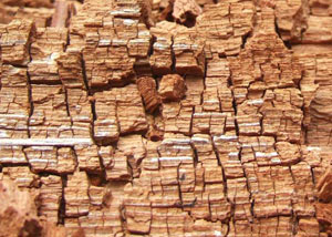 Wood severely damaged by dry rot damage in Brazeau