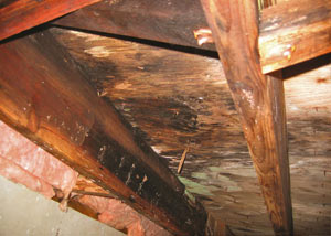 Extensive crawl space rot damage growing in Cypress County